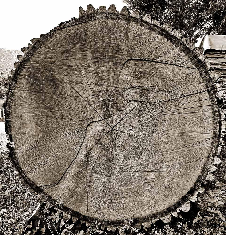 Schindelbaum finden